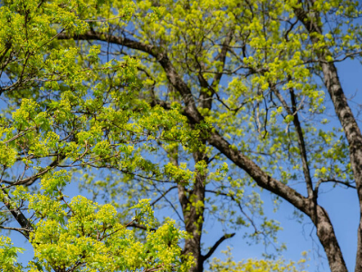 Vihreän vehreitä puita sinistä taivasta vasten.